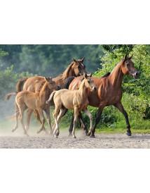 Пъзел - Purebred Arabians