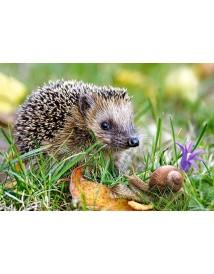 Пъзел - Hedgehog